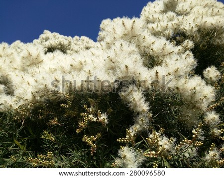 Narrow-leaved paperbark (Melaleuca alternifolia) is a species of tree or tall shrub in the myrtle family Myrtaceae. - stock photo