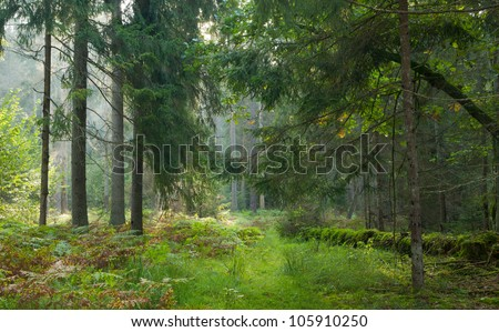 Narrow path crossing autumnal stand of Bialowieza Forest in morning - stock photo