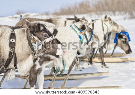 Naryan-Mar - 2 April, 2016. Deer Nenets national holiday in the city of Naryan-Mar. Russia, Nenets Autonomous Okrug