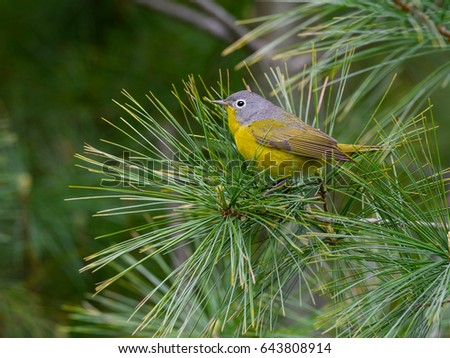 Nashville Warbler Perched on Pine Tree