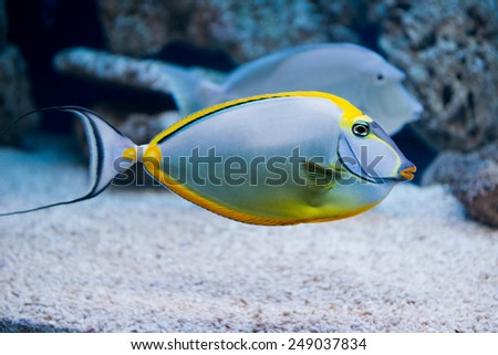 Naso lituratus - barcheek unicornfish - saltwater fish - stock photo