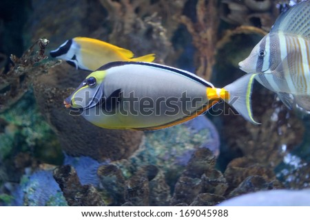 Naso Tang fish swimming with other salt water ocean fish with a background of coral.