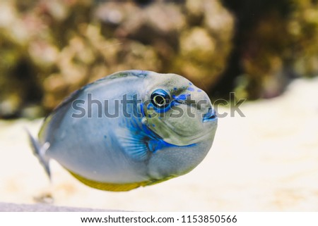 Naso vlamingii is a species of unicornfish in the surgeonfish family known by the common names bignose , scibbled unicornfish, Vlaming's unicornfish, vlamingi tang, and zebra unicornfish.