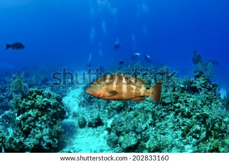 Nassau Grouper and Coral Reef, Grand Cayman - stock photo