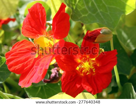 Nasturtium flowers in the garden on a bed - stock photo