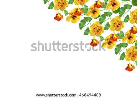 nasturtium flowers isolated on white background. Summer