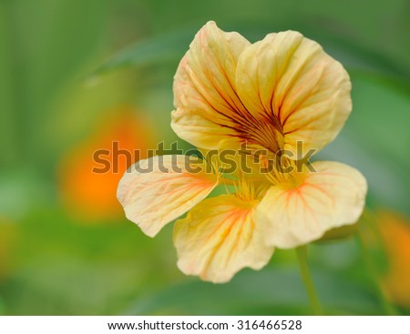 nasturtium in flower bed  in summer  garden closeup - stock photo