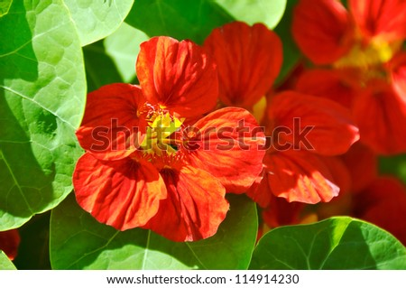 Nasturtium, Whirlybird Mahogany - stock photo