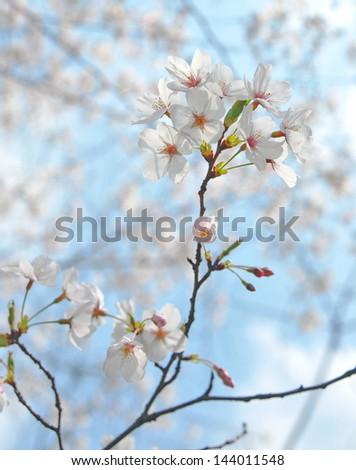 National Cherry Blossom Festival cherry blossom trees in bloom - stock photo