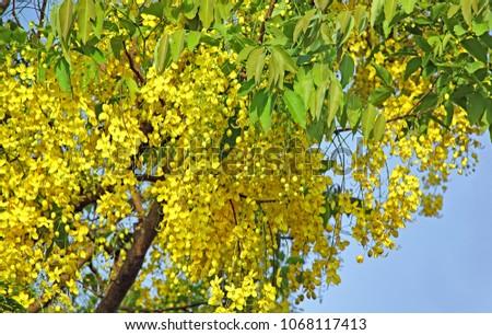 National flower thailand golden shower cassia stock photo edit now national flower of thailand the golden shower or cassia fistula bloom in tree mightylinksfo