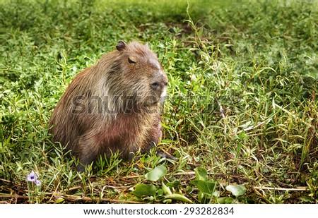 NATIONAL PARK ESTEROS DEL IBERA, CORRIENTES, ARGENTINA - NOV 25, 2014: Capybara (Hydrochoerus hydrochaeris), The Iber�¡ Wetlands. Capybaras are the largest rodents in the world.  - stock photo