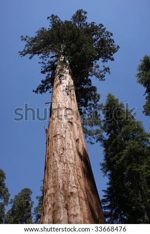 National Sequoia Park  Tree - stock photo