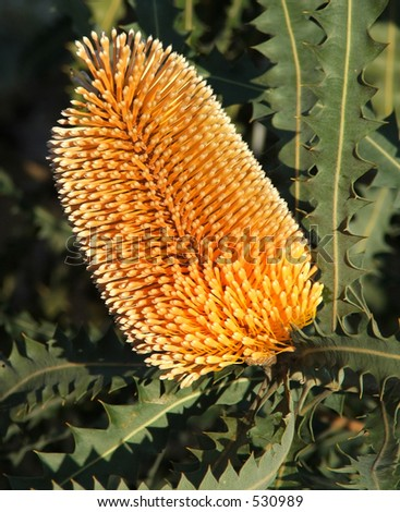 Native Australian Banksia Flower - Orange
