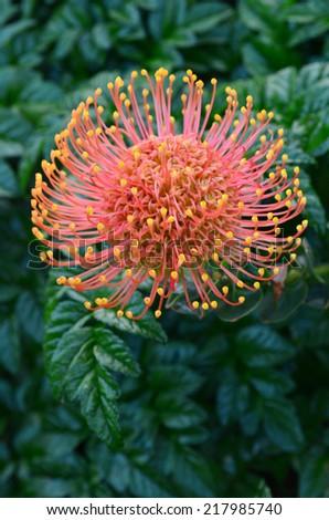 Native Australian Grevillea plant blooms in home garden. - stock photo