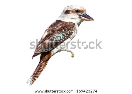 Native Australian wild laughing kookaburra, perched, isolated on white.