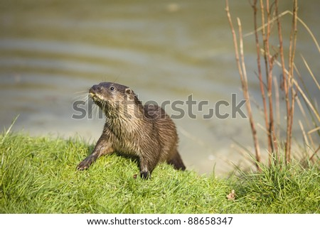 Native British otter on the grass on a river bank. - stock photo