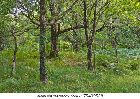 Native oak, birch and rowan trees growing in natural green woodlands in the Killarney valley, County Kerry, Ireland - stock photo