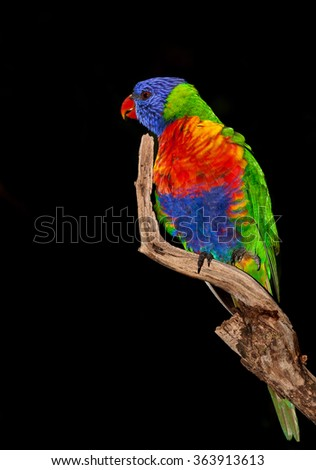 native to australia the lorikeet parrot