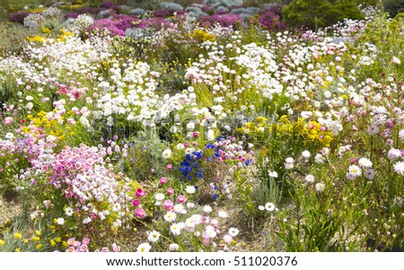 Native wildflower gardens of everlasting daisies - RHODANTHE chlorocephala and black Kangaroo Paws - Macropidia fuliginosa at Kings Park, Perth Western Australia