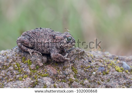 Natterjack Toad sitting on ground