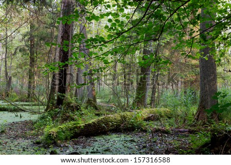 Natural alder-carr stand of Bialowieza Forest with standing water and Common Duckweed on surface - stock photo