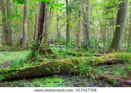Natural alder-carr stand of Bialowieza Forest with standing water and Common Duckweed on surface among - stock photo