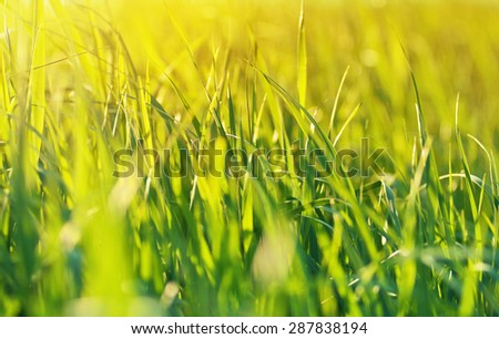 Natural background: a juicy green grass backlit, sunny day - stock photo