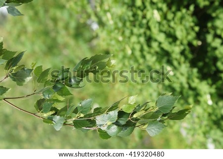 natural background birch branch