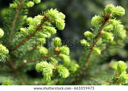 Natural background branch spruce, fir tree