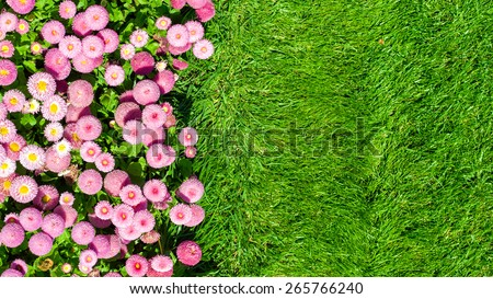 """Natural background - Flowerbed with pink marguerites (bellis), family Asteraceae and green lawn. 'Monstrosa' shape, """"Dresden China"""" color. - stock photo"""