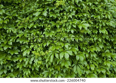 Natural background from climbing plants - stock photo