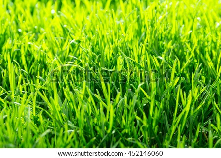 Natural background: green grass low angle shot. Green grass texture in sunny morning