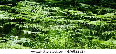 Natural background. Leaves of fern in the forest