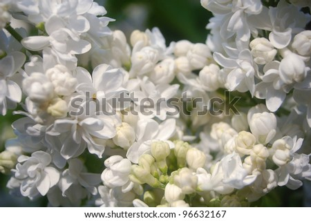 Natural background made of white lilac flowers . - stock photo