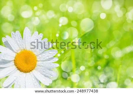 Natural background of bright green grass and daisies in morning dew drops - stock photo