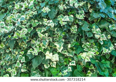 Natural Background, Ornamental Plants for Landscaping, Green and White Leaves - stock photo