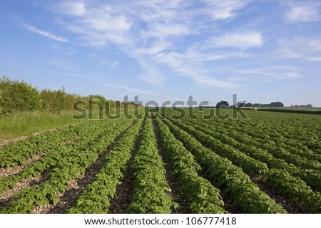 natural background patterns and textures of a landscape with potato plants growing on chalky soil and hawthorn hedges under a summer sky
