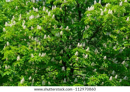 natural background with lots of chestnut tree blossoms - stock photo