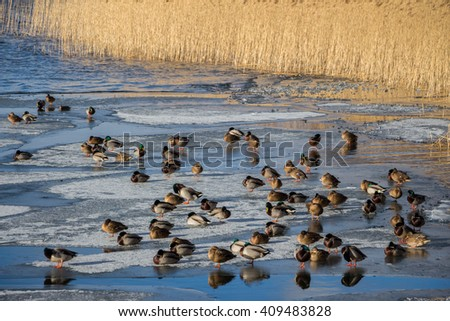 Natural background with many ducks standing on ice. Spring sunny day. Communication between Wild ducks on the lake ice under the bright sun.A lot of Ducks relaxing together, talking and communicating. - stock photo