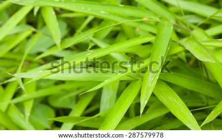 Natural bamboo green leaf in summer season