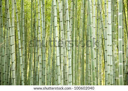 Natural bamboo trees as perfect abstract background - stock photo