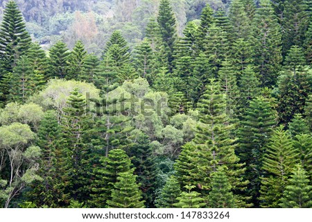 Natural beautiful ornament pine trees. - stock photo