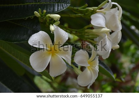 Natural beautiful white plumeria blossom blooming with green leaf background