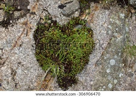Natural carpet of green moss, Shape of a Heart - stock photo