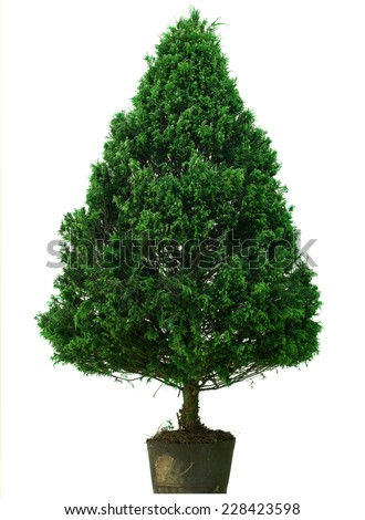 Natural Christmas Tree without Decoration Isolated on White Background - stock photo