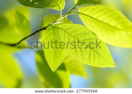 Natural color bird-cherry green leafs