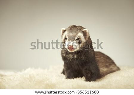 Natural color ferret portrait in studio - stock photo