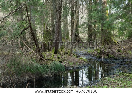 Natural coniferous stand in morning with flowing water,Bialowieza Forest,Poland,Europe