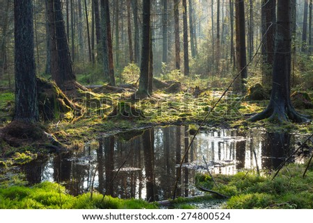Natural coniferous stand of Bialowieza Forest Landscape Reserve in morning with sunlight entering, Bialowieza Forest,Poland,Europe