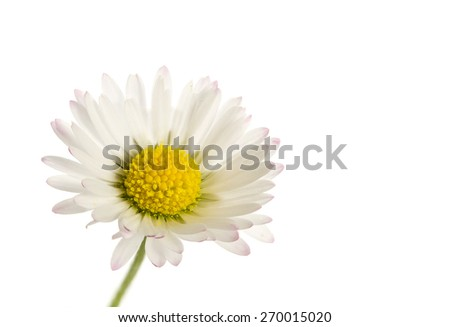 natural daisy flower closeup, isolated on a white background - stock photo